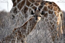 09 - Giraffino - Simona Fausti